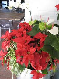Poinsettia Care Through Winter and Beyond | HGTV