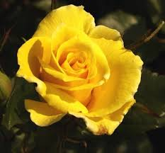roses images the yellow rose of texas hd wallpaper and background photos