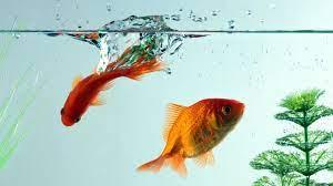 Goldfish - HDPiCorner