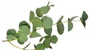 neprijateljstvo Oporavak objesiti eukaliptus dobar za - diebrenners.org