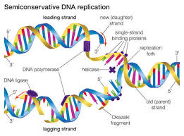 in semiconservative dna replication an existing dna molecule  in semiconservative dna replication an existing dna molecule separates into two template strands to which new
