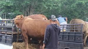 Hasil gambar untuk truk sapi