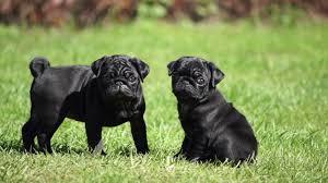 black pug puppies. Wonderful Black Black Pug Puppies To Puppies T