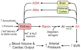 Cv Physiology Renin Angiotensin Aldosterone System