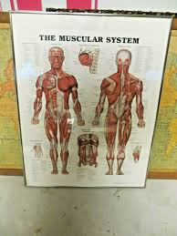 The Muscular System 1997 Anatomical Chart Co Medical Illustrations Framed Chart
