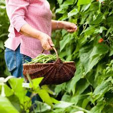 gathering basket 77743069 04 gardening collecting green beans gifts for gardeners gifts for gardeners garden