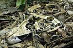 Images & Illustrations of gaboon viper