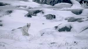 winter animal nature backgrounds. Contemporary Nature Nature Winter Snow Animals Landscape Arctic Fox Camouflage Stones  Plants Frost Canada Wallpapers HD  Desktop And Mobile Backgrounds In Winter Animal Nature N