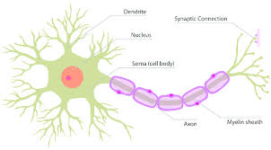 1 The Structure Of A Real Neuron Download Scientific Diagram