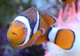 Diseases Clown Fish