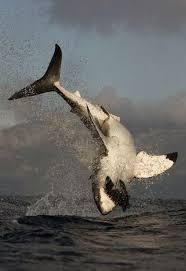 cute baby great white shark. Plain Cute Great White Shark For Cute Baby Great White Shark