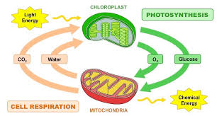 Cell Energy Flow Chart Photosynthesis And Cellular Respiration Answer Key Photosynthesis Vs Respiration Bioninja