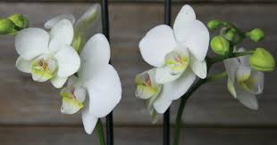 orchid meaning