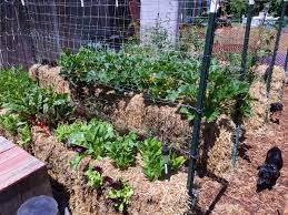 local gardeners have discovered veggie success in straw bale gardens this novel method takes a little effort to set up in the beginning but ultimately