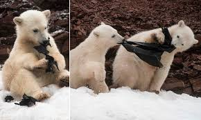 Hungry polar bear chews on some plastic in Svalbard as two others play  tug-of-war with a bin liner | Daily Mail Online
