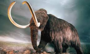 a giant meteor not overhunting wiped out the woolly mammoth because it struggled to cope with the rapid climate change that followed daily mail
