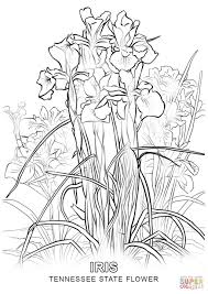 Small Picture Tennessee State Flower coloring page Free Printable Coloring Pages