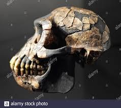 Ardipithecus Ramidus Fotos e Imágenes de stock - Alamy