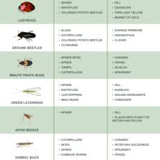 Beneficial Insects Chart Organic Pest Control Archives Gardensimply