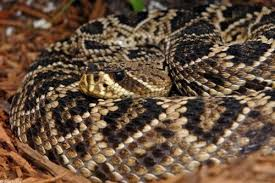 Snake With Diamond Pattern Awesome 48 EasternDiamondBackRattleSnake Reptiles Pinterest Snake