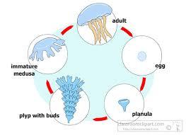 marine life clipart   diagram jellyfish life cycle egg planula    diagram jellyfish life cycle egg planula medusa jpg