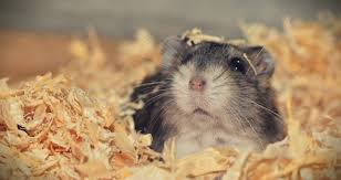 how much bedding does a hamster need