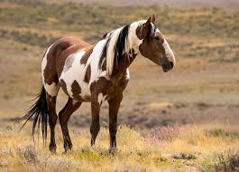 Excellent comments by Gayle Hunt, Pres. of Central Oregon Wild Horse  Coalition, on Colorado BLM's Determination of NEPA Adequacy (DNA) –  Straight from the Horse's Heart