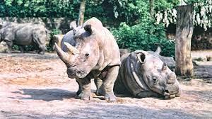 بقي اثنان فقط من وحيد القرن الأبيض الشمالي. وكلاهما من الإناث.