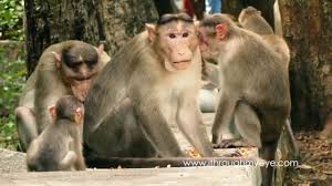 bonnet macaque. bonnet macaque family enjoying food o