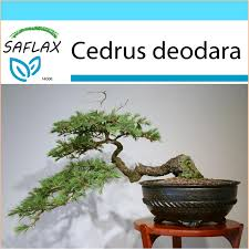 saflax gift set 35 seeds bonsai indian cedar cèdre de l