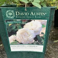 3 rosa winchester cathedral david austin rose no warranty