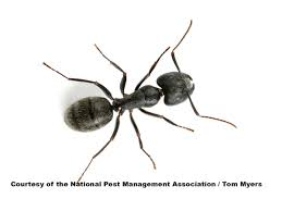 Tiny Black Ants Kitchen Ant Identification Guides Ant Control Extermination