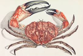 Crab Species Chart Tasmanian Giant Crab Wikipedia