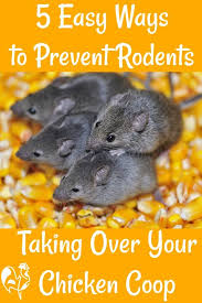 5 easy ways to stop rodents taking over the coop pin for later