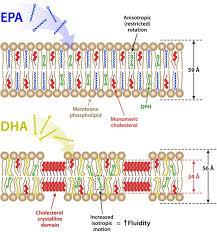 membrane fluidity