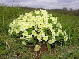 Primroses | Sussex Wildlife Trust