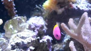 Dottyback Compatibility Chart Salt Water Aquarium Dottybacks Tropical Hobbies
