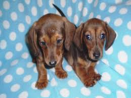 miniature smooth haired dachshund puppy s on t
