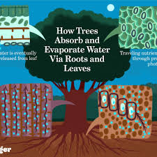 trees absorb and evaporate water