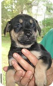 german shepherd rottweiler mix puppies. Wonderful Rottweiler Adopted Inside German Shepherd Rottweiler Mix Puppies D