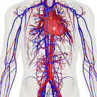 Images & Illustrations of circulatory system
