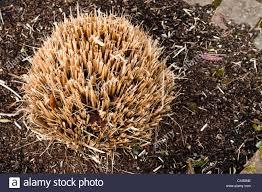 Gräser Pennisetum Alopecuroides Winter