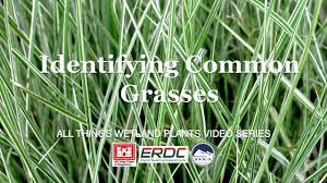 Identifying Common Grasses Youtube