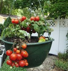 How To Fertilize Your Container Gardens  The Grow Network  The Container Garden Plans Tomatoes