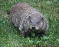 how to keep groundhogs out of my garden. Are Groundhogs Eating Your Garden? Here\u0027s 6 Ways To Keep Them Away. Http: How Out Of My Garden