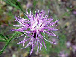 i ve always thought that knapweed flowers were very beautiful but unfortunately this plant is from europe and according to the u s forest service is