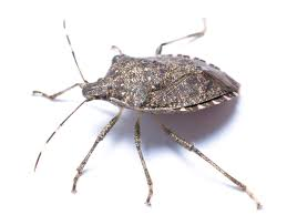 the name says it all stink bug
