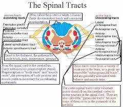 Spinal Tracts Poster Spinal Cord Spinal Nerve Neurology