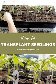 transplant seedlings to larger pots