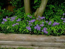 Image result for Sweet William - Phlox divaricata